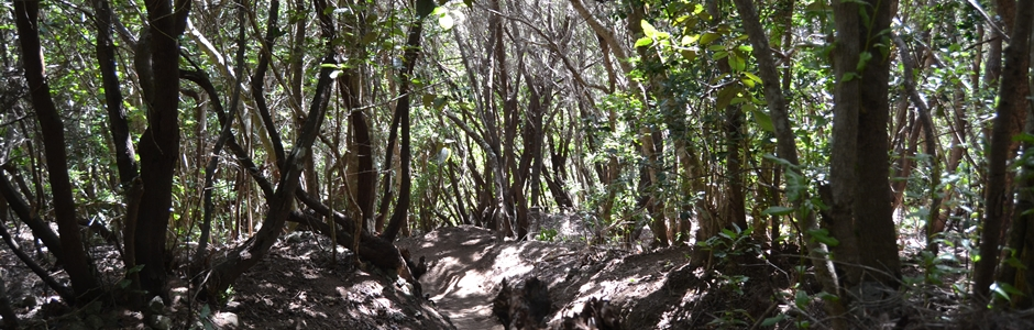 Bosque Laurisilva